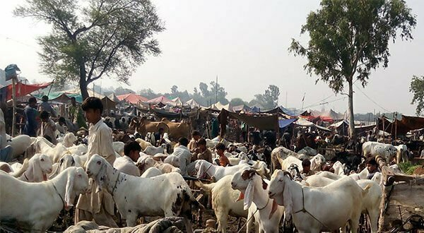 The Punjab government has launched an application for online animal reconciliation purchases