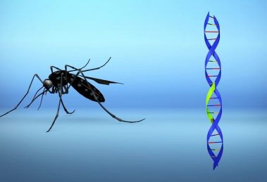 Modified mosquitoes repair insects in Florida